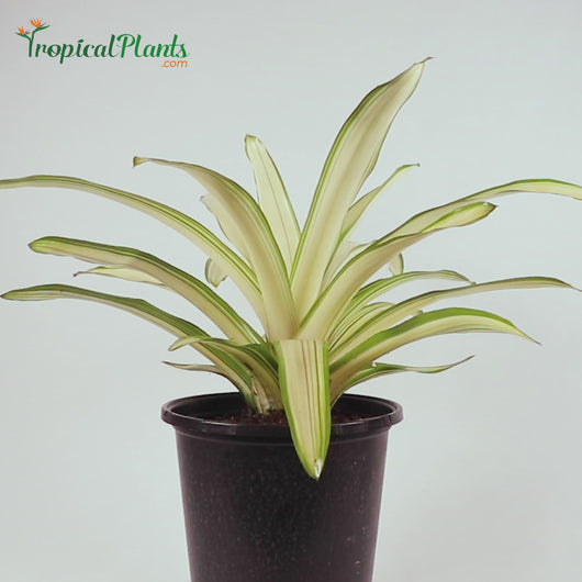 Tropical Plant Ardie Bromeliad Neoregelia in White Contemporary Pot Video Straight on