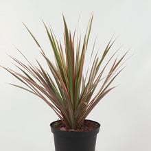 Load and play video in Gallery viewer, Tricolor Marginata Dracaena