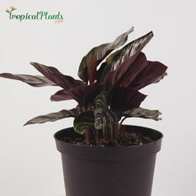 Load and play video in Gallery viewer, Pinstripe Calathea (Calathea Ornata)