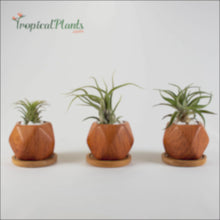 Load and play video in Gallery viewer, Air Plant Tillandsia Trio - Wood Pattern Ceramic Pot Set - Round