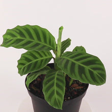 Load and play video in Gallery viewer, Zebrina Calathea