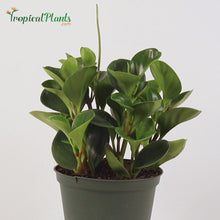 Load and play video in Gallery viewer, Baby Rubberplant (Peperomia Obtusifolia)