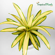 Load image into Gallery viewer, Tropical Plant Ardie Bromeliad Neoregelia in White Contemporary Pot 45 Degree View