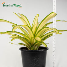 Load image into Gallery viewer, Tropical Plant Ardie Bromeliad Neoregelia in White Contemporary Pot with yardstick