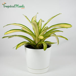Tropical Plant Ardie Bromeliad Neoregelia in White Contemporary Pot