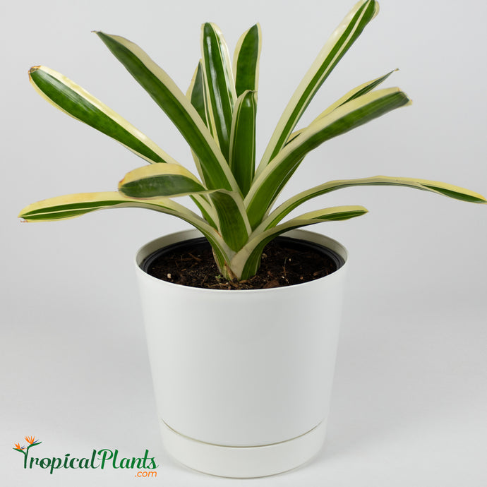 Tropical Plant Bossa Nova Bromeliad Neoregelia in white contemporary pot