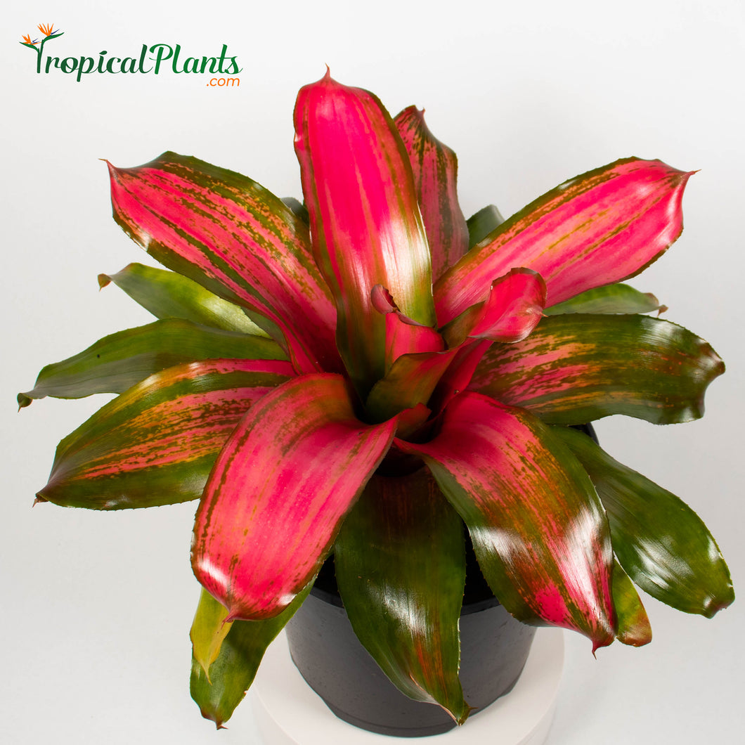 Tropical Plant Christmas Magali Bromeliad Neoregelia in pot