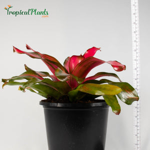 Tropical Plant Christmas Magali Bromeliad Neoregelia in pot with yardstick