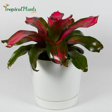 Load image into Gallery viewer, Tropical Plant Christmas Magali Bromeliad Neoregelia in white contemporary pot