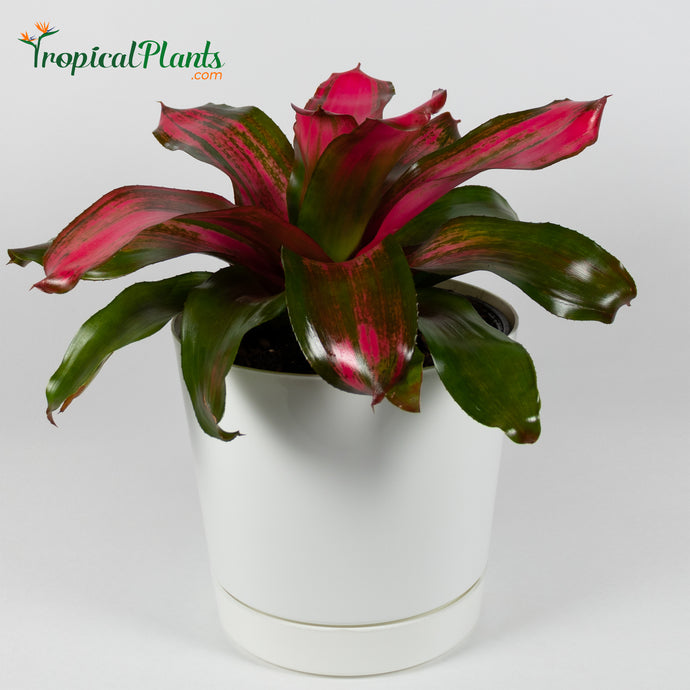 Tropical Plant Christmas Magali Bromeliad Neoregelia in white contemporary pot