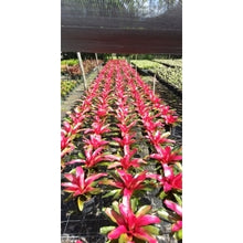 Load image into Gallery viewer, Tropical Plant Christmas Magali Bromeliad Neoregelia in landscaping nursery