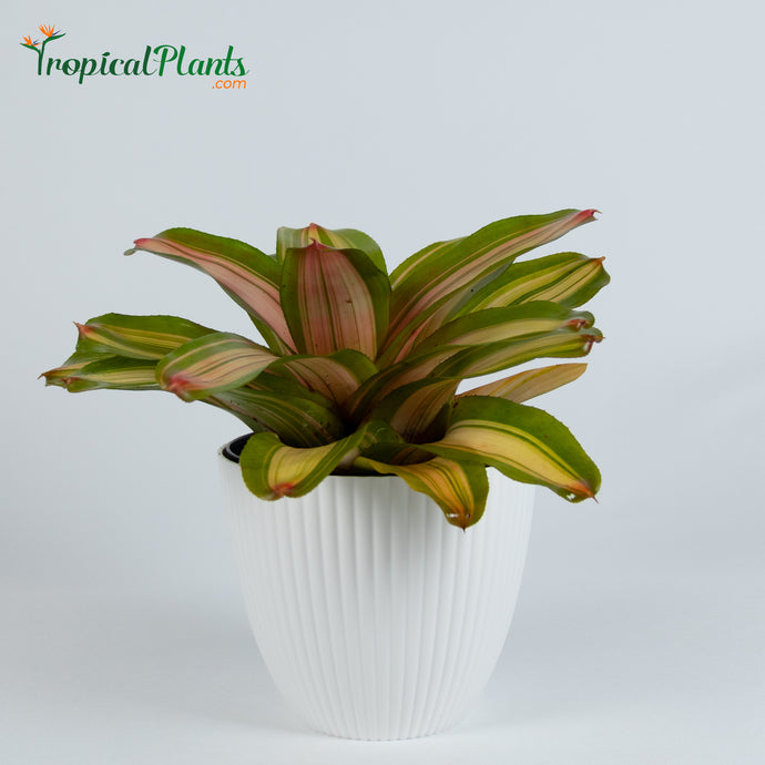Tropical Plant Fancy Bromeliad Neoregelia in ribbed white contemporary pot