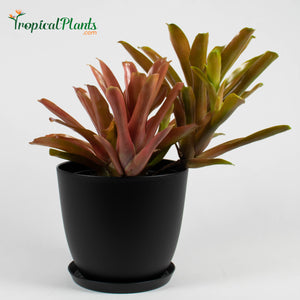 Tropical Plant Fireball Bromeliad  Neoregelia in black contemporary pot