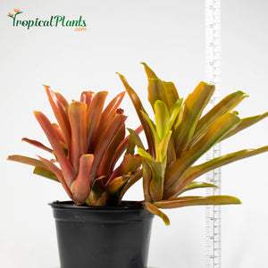 Tropical Plant Fireball Bromeliad  Neoregelia in pot with yardstick