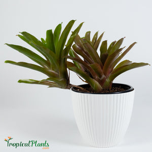 Tropical Plant Fireball Bromeliad  Neoregelia in ribbed white contemporary pot