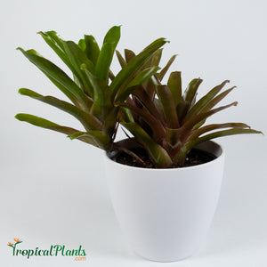 Tropical Plant Fireball Bromeliad  Neoregelia in white contemporary pot 2