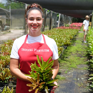 Tropical Plant Fireball Bromeliad  Neoregelia in landscaping shop with model