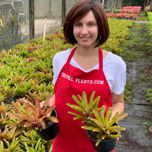 Load image into Gallery viewer, Tropical Plant Fireball Bromeliad  Neoregelia in garden nursery with young model
