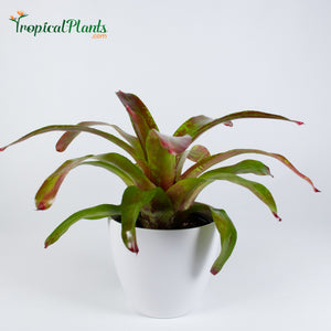 Tropical Plant Gazpacho Bromeliad Neoregelia in white contemporary pot with saucer