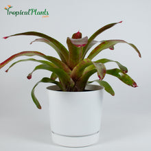 Load image into Gallery viewer, Gazpacho Bromeliad Neoregelia