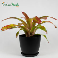 Load image into Gallery viewer, Tropical Plant Gazpacho Bromeliad Neoregelia in black contemporary pot