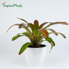 Load image into Gallery viewer, Tropical Plant Gazpacho Bromeliad Neoregelia in ribbed white contemporary pot