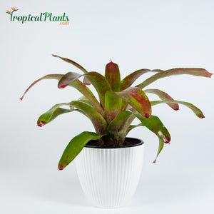 Tropical Plant Gazpacho Bromeliad Neoregelia in ribbed white contemporary pot