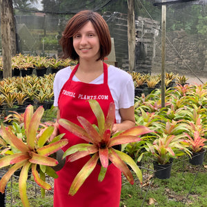 Tropical Plant Gazpacho Bromeliad Neoregelia in landscaping nursery with female model