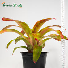 Load image into Gallery viewer, Tropical Plant Gazpacho Bromeliad Neoregelia in pot with yardstick