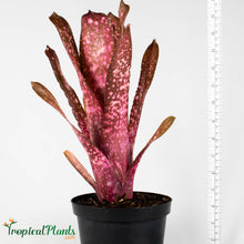 Load image into Gallery viewer, Tropical Plant Hallelujah Bromeliad Billbergia in pot with yardstick
