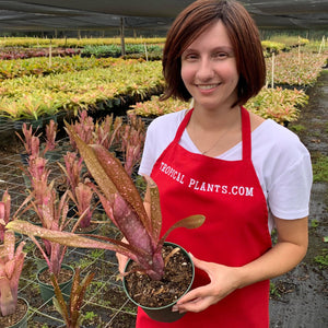 Tropical Plant Hallelujah Bromeliad Billbergia with female model in garden nursery