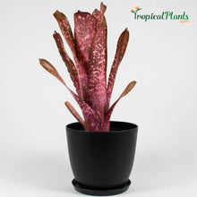 Load image into Gallery viewer, Hallelujah Bromeliad Billbergia (Rare)