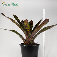Load image into Gallery viewer, Tropical Plant Hannibal Lecter Bromeliad Neoregelia in pot with yardstick