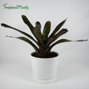 Tropical Plant Hannibal Lecter Bromeliad Neoregelia in white contemporary pot