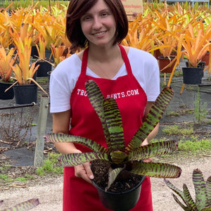 Tropical Plant Hannibal Lecter Bromeliad Neoregelia at landscaping nursery with female model