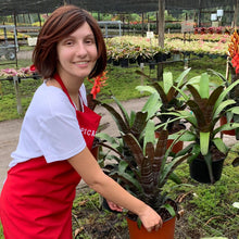 Load image into Gallery viewer, Tropical Plant Hannibal Lecter Bromeliad Neoregelia in pot at plant nursery with female model