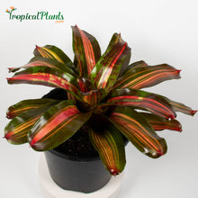 Load image into Gallery viewer, Tropical Plant Kahala Dawn Bromeliad Neoregelia in pot
