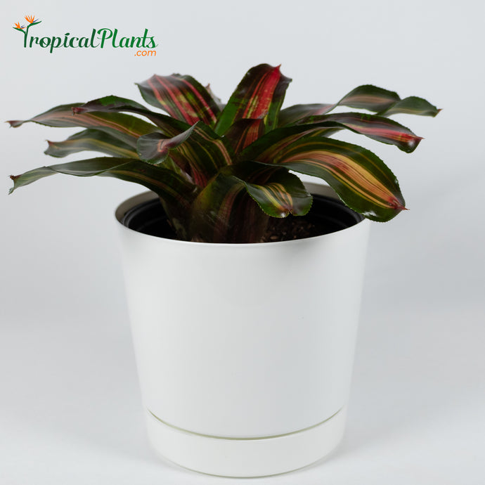 Tropical Plant Kahala Dawn Bromeliad Neoregelia in white contemporary pot