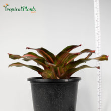 Load image into Gallery viewer, Tropical Plant Kahala Dawn Bromeliad Neoregelia in pot with yardstick