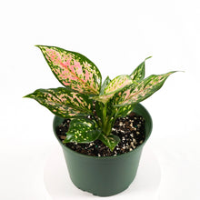 Load image into Gallery viewer, Chinese Evergreen (Aglaonema Wishes)