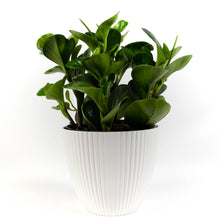 Load image into Gallery viewer, Baby Rubberplant (Peperomia Obtusifolia)