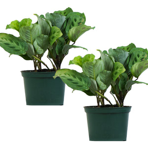Green Prayer Plant (Maranta Calathea)