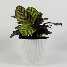 Load image into Gallery viewer, Peacock Plant - Cathedral Windows (Calathea Makoyana)