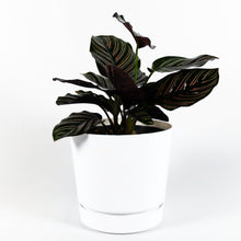 Load image into Gallery viewer, Pinstripe Calathea (Calathea Ornata)