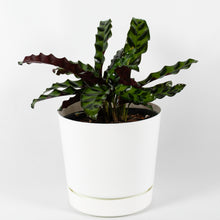 Load image into Gallery viewer, Rattlesnake Plant (Calathea Lancifolia)