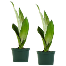 Load image into Gallery viewer, Moonshine Sansevieria Snake Plant