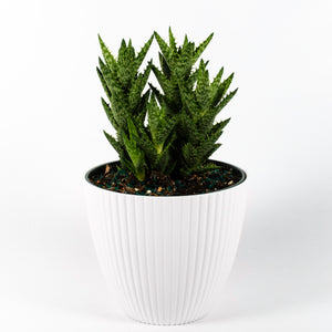 Tiger Tooth Aloe