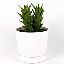 Load image into Gallery viewer, Tiger Tooth Aloe