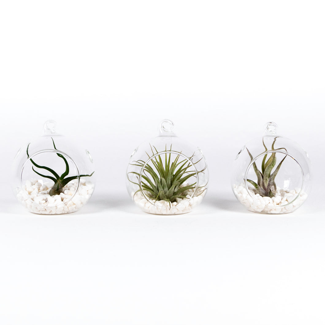 Air Plant Tillandsia Trio - Glass Globe Orbs