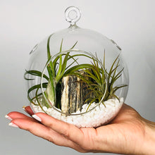 "Load image into Gallery viewer, Air Plant Terrarium Set with 3 Live Air Plant Tillandsias, 5.5"" Glass Globe, White Stones & Hercules Mini-Boulder"